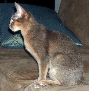 Fuzzbie, my Abyssinian cat